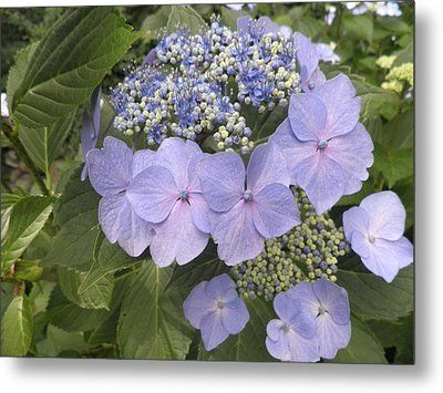 Blue Lacecap Hydrangea Metal Print by Kate Gallagher
