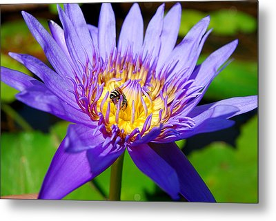 Blue Lotus And Honey Bee Metal Print by Luis Esteves