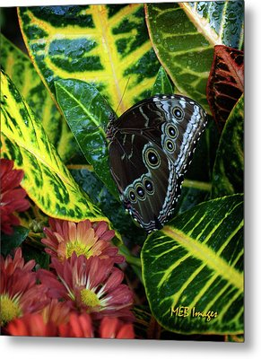 Blue Morpho Butterfly Metal Print by Margaret Buchanan