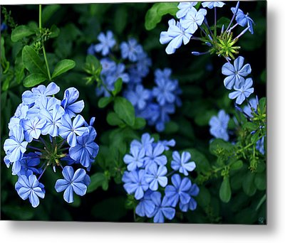 Blue Plumbago Metal Print by Barbara Middleton