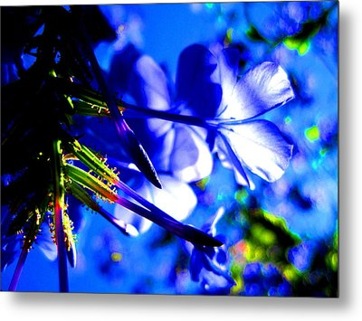 Blue Plumbago Flowers Metal Print by Catherine Natalia  Roche