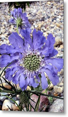 Metal Print featuring the painting Blue Scabiosa by Susan Fisher