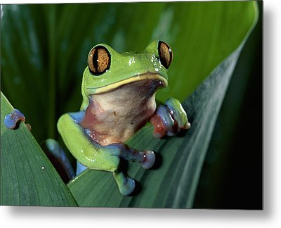 Blue-sided Leaf Frog Agalychnis Annae Metal Print by Michael & Patricia Fogden