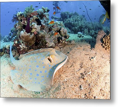 Blue-spotted Stingray Metal Print by Photostock-israel