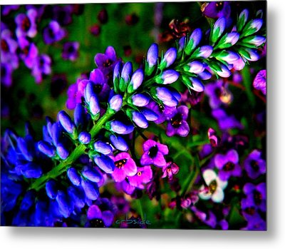 Blue Veronica Metal Print by Chris Berry
