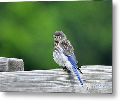 Metal Print featuring the photograph Bluebird Baby by Nava Thompson