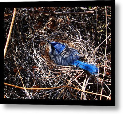 Metal Print featuring the photograph Bluebird In Her Nest by Susanne Still