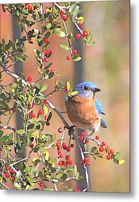 Bluebird In Yaupon Holly Tree Metal Print