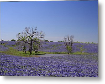Bluebonnet Acres Metal Print