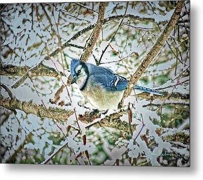 Bluejay In Birches Metal Print