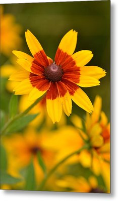 Metal Print featuring the photograph Blush-eyed Susan by JD Grimes