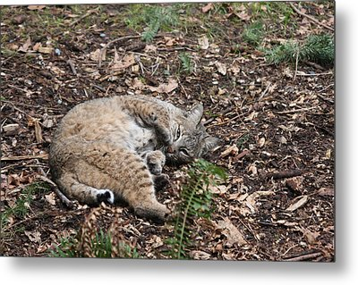 Metal Print featuring the photograph Bobcat - 0016 by S and S Photo