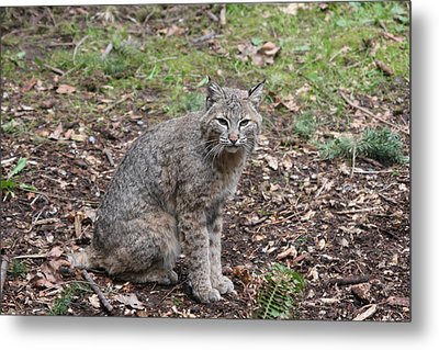 Metal Print featuring the photograph Bobcat - 0017 by S and S Photo