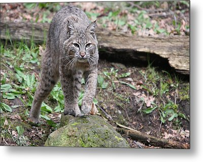Metal Print featuring the photograph Bobcat - 0020 by S and S Photo