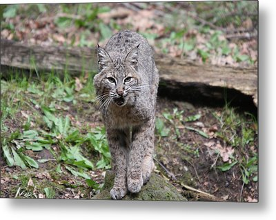 Metal Print featuring the photograph Bobcat - 0021 by S and S Photo
