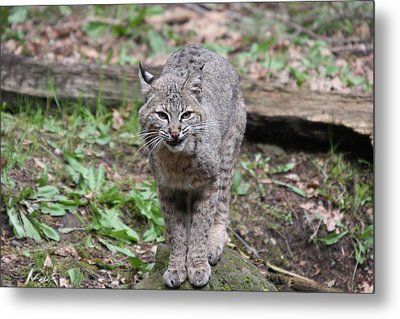 Metal Print featuring the photograph Bobcat - 0022 by S and S Photo