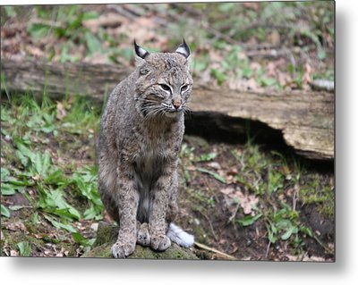 Metal Print featuring the photograph Bobcat - 0025 by S and S Photo