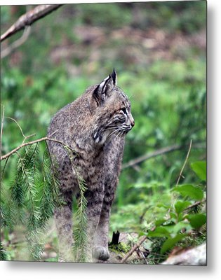Metal Print featuring the photograph Bobcat - 0027 by S and S Photo