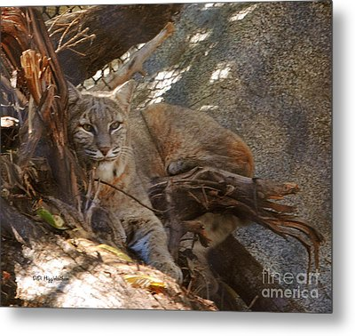Bobcat Metal Print by DiDi Higginbotham