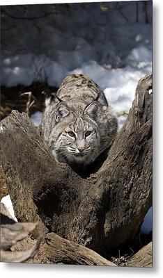 Bobcat  Metal Print by Jeff Grabert