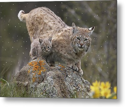 Bobcat Mother And Kitten In Snowfall Metal Print by Tim Fitzharris