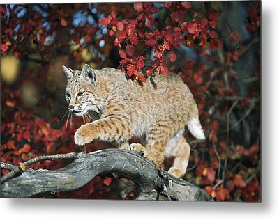 Bobcat Walks On Branch Through Hawthorn Metal Print