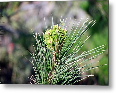 Bokeh Of Evergreen Metal Print