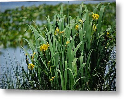 Bokeh Of Yellow Flag Water Iris Metal Print
