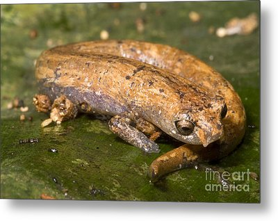 Bolitoglossine Salamander Metal Print