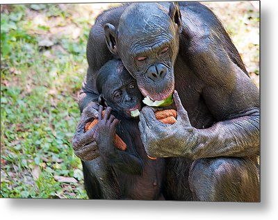 Bonobo 3 Metal Print by Kenneth Albin