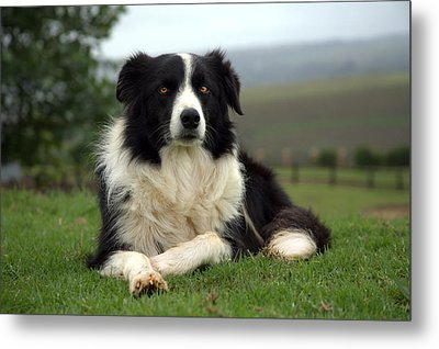 Border Collie Metal Print by Miguel Capelo