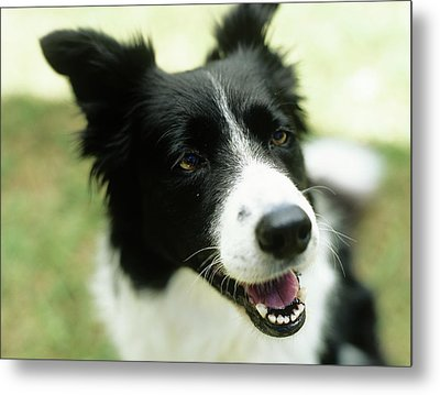 Border Collie Sitting On Grass,close-up Metal Print by Stockbyte