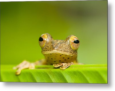 Borneo Red Flying Frog (rhacophorus Pardalis), Danum Valley, Primary Forest, Sabah, Borneo, Malaysia Metal Print by Berndt Fischer