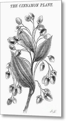 Botany: Cinnamon Plant Metal Print by Granger
