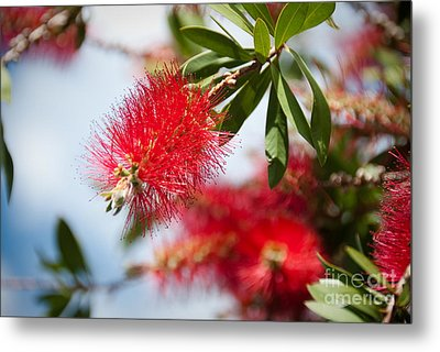 Bottle Brush Tree Metal Print by Yurix Sardinelly