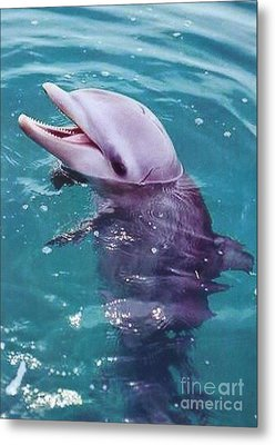Bottle Nosed Dolphin Metal Print by Diane Kurtz