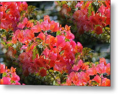 Bougainvillea 'alabama Sunset 1 Metal Print by Elizabeth  Doran