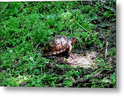 Box Turtle  Metal Print by The Kepharts