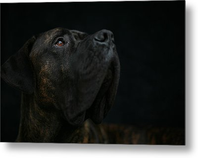 Boxer Dog Looking Up Metal Print by STasker
