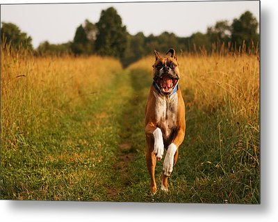 Boxer Dog Running Happily Through Field Metal Print by Stephanie McDowell