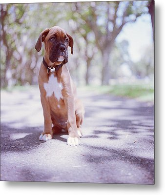 Boxer Puppy Metal Print by Diyosa Carter