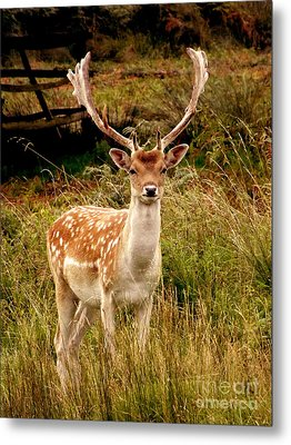 Wildlife Fallow Deer Stag Metal Print by Linsey Williams