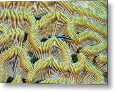Brain Coral Metal Print by Robin Wilson Photography