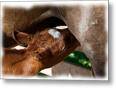 Brand New Colt..day Two Metal Print by Lisa Moore