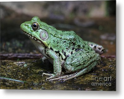 Bright Green Bullfrog Metal Print by Chris Hill