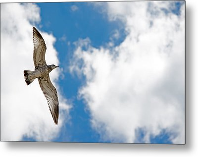 Bright Gull Metal Print by Kelly Anderson
