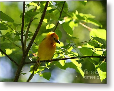 Bright Yellow Songbird Metal Print by Christina A Pacillo