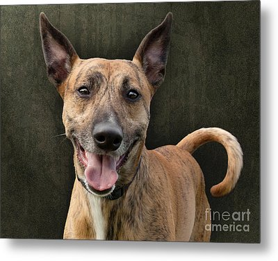 Brindle Dog With Great Ears Metal Print by Ethiriel  Photography