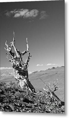 Bristlecone Pine And Cloud Metal Print