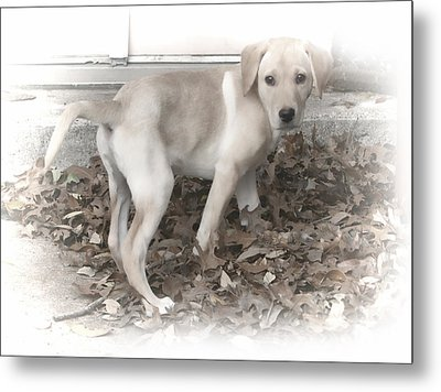 British Labrador In Natural Tones Metal Print by Linda Phelps